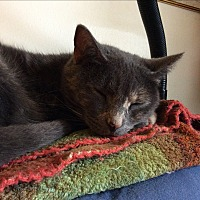Domestic Shorthair Cat for adoption in Marietta, Georgia - Twinkie