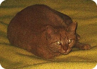 Domestic Shorthair Cat for adoption in Caro, Michigan - Sunshine