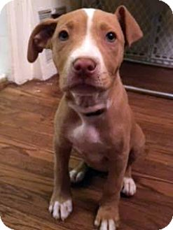 Terrier (Unknown Type, Medium) Mix Puppy for adoption in Detroit, Michigan - Laverne-Adopted!