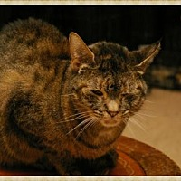 Domestic Shorthair Cat for adoption in Island Heights, New Jersey - Tess