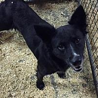 Adopt A Pet :: Raven - Del Rio, TX