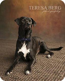 Labrador Retriever Mix Dog for adoption in Dallas, Texas - Eli