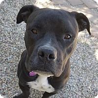 Bulldog Mix Dog for adoption in Sherman Oaks, California - Tyson