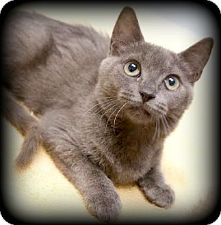 Domestic Shorthair Kitten for adoption in Montclair, New Jersey - Twighlight