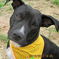 Labrador Retriever/Pit Bull Terrier Mix Dog for adoption in Boston, Massachusetts - A - LAILLA