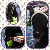 Adopt A Pet :: Niko - Elizabethtown, PA