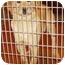 Photo 1 - Golden Retriever/Labrador Retriever Mix Puppy for adoption in Provo, Utah - Comet
