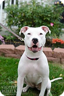 American Pit Bull Terrier Mix Puppy for adoption in Hilliard, Ohio - Maya