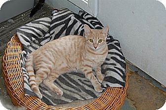 American Shorthair Cat for adoption in Jackson, Mississippi - Sophie Kurys