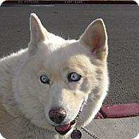 Husky/Samoyed Mix Dog for adoption in Las Vegas, Nevada - Princess