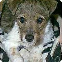 Adopt A Pet :: Diamond - dewey, AZ