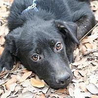 Labrador Retriever/Terrier (Unknown Type, Medium) Mix Dog for adoption in Pipe Creek, Texas - Lola