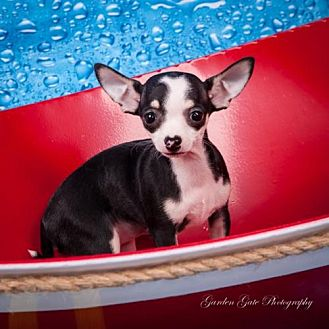 Chihuahua Puppy for adoption in Elizabethtown, Pennsylvania - Lil Bit