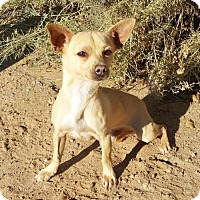 Adopt A Pet :: LITTLE Rikki ~ Chiweenie - Albuquerque, NM