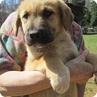 Adopt A Pet :: TOSCHA - Lincolndale, NY