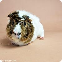 Adopt A Pet :: Rex - Seattle, WA
