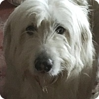 Great Pyrenees/Irish Wolfhound Mix Puppy for adoption in Tulsa, Oklahoma - Holly  *Adopted
