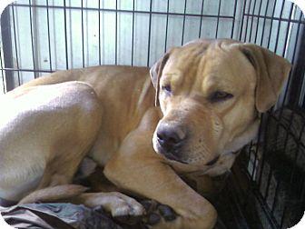 Bullmastiff/American Pit Bull Terrier Mix Dog for adoption in Yuba City, California - Sash