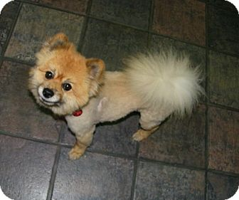 Pomeranian Dog for adoption in South Amboy, New Jersey - Orien