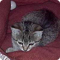 Adopt A Pet :: Mccoy - Sterling Hgts, MI