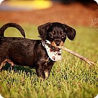 Adopt A Pet :: Hermie - Albany, NY