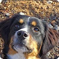 Adopt A Pet :: Mandy - Brattleboro, VT