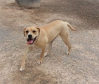 Las vegas nv labrador retriever boxer mix meet indie a for Dog rescue las vegas nv