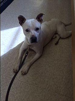 American Bulldog/Shepherd (Unknown Type) Mix Dog for adoption in Elyria, Ohio - Apollo