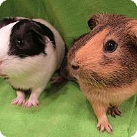 Adopt A Pet :: MIckey - Steger, IL