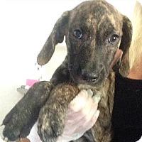 Adopt A Pet :: Robin pup - Pompton Lakes, NJ
