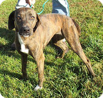 Hound (Unknown Type) Mix Puppy for adoption in Reeds Spring, Missouri - Bindi