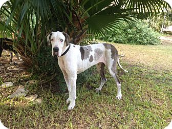 Great Dane Dog for adoption in Austin, Texas - Beazley