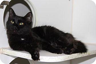 Domestic Mediumhair Cat for adoption in Greensboro, North Carolina - Selima