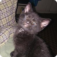 Adopt A Pet :: babies - Woodstock, VA