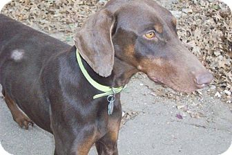 Doberman Pinscher Dog for adoption in New Richmond, Ohio - Charity--adopted!