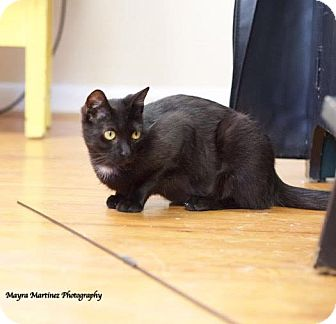 Domestic Shorthair Cat for adoption in Chattanooga, Tennessee - Minnow