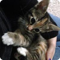 Domestic Shorthair Kitten for adoption in Austin, Texas - Sun