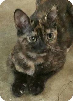 Domestic Shorthair Kitten for adoption in Yorba Linda, California - Chloe