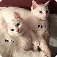 Adopt A Pet :: Blinky - N. Billerica, MA