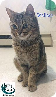 Domestic Shorthair Kitten for adoption in Huntsville, Ontario - Wallace - Cutie!