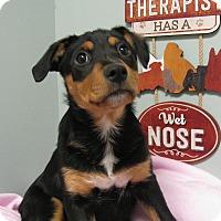 Adopt A Pet :: Pippa - Groton, MA