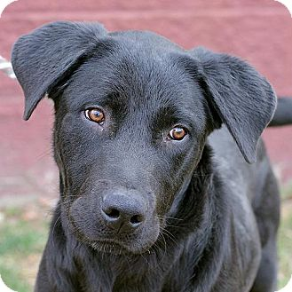 Labrador Retriever Mix Dog for adoption in Springfield, Illinois - Blue