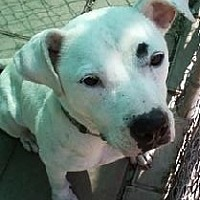 Dogo Argentino Mix Dog for adoption in Midlothian, Virginia - Elsa