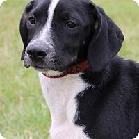 Adopt A Pet :: Oreo - Bedford, VA
