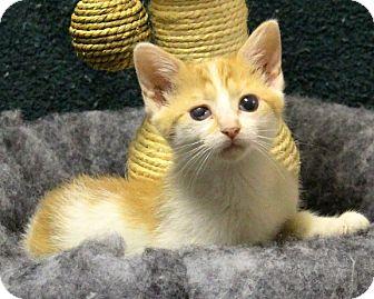 American Shorthair Kitten for adoption in Rochester, New York - Sammi