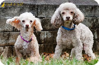 Poodle (Miniature) Dog for adoption in Pittsburgh, Pennsylvania - Nyree and Teddy- BONDED PAIR