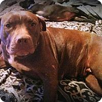 Adopt A Pet :: Lady - Wichita Falls, TX