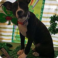 Adopt A Pet :: Agnes - Detroit, MI