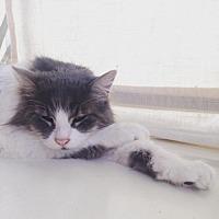 Adopt A Pet :: Siddhi [CP] - Oakland, CA