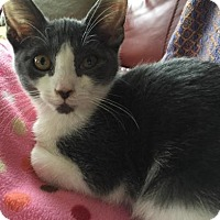 Adopt A Pet :: Comet - East Hanover, NJ